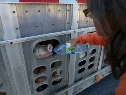 Woman charged with criminal mischief for giving water to pigs bound for slaughter