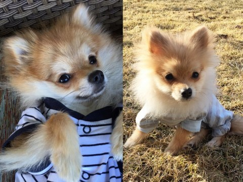 Meet Pom Pom Chewy, the puppy that will steal your heart