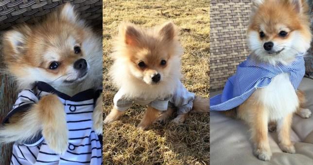 Pom pom chewy the instagram sensation Pomeranian dog