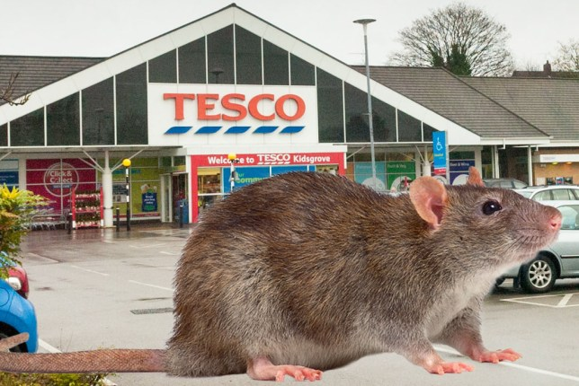 Angry residents have slammed supermarket giant Tesco after their homes became infested with RATS. Families living in Whitehall Avenue, Kidsgrove, Staffs., say rodents are invading their houses and gardens because the neighbouring Tesco Extra store destroyed the rats' habitat on its site. Residents claims the problem started earlier this month when the undergrowth at the store in Liverpool Road was removed - causing the vermin to flee for shelter. One mum even found a dead rat in her kitchen, leaving her two young children terrified. Credit: Newsteam/Getty Images