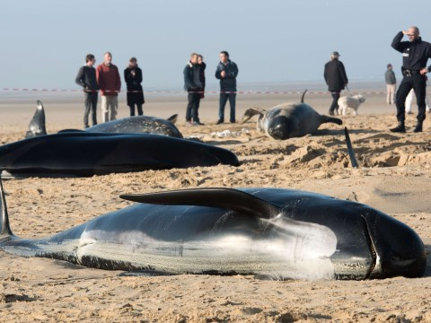 Family of ten whales found stranded on beach in Calais