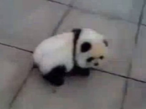 Believe it or not, this isn't actually a panda