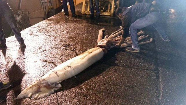 "Pic shows: The giant squid. A couple of fishermen are squids in after capturing a monster kraken from the deep. The 10 metre long, 150kg monster was caught by fishermen aboard the boat Minchos off the coast of the northern Asturias region, some miles from the Strait of Villaviciosa, Spain. The female squid was caught in the nets the fishermen were trawling at a depth of almost 500m. The giant squid has been frozen and transported to the labs of CEPESMA ñ the coordinators for the Study and Protection of Marine Species - who will carry out an autopsy. The president of CEPESMA, Luis Laria, said: ""It is an extraordinary example, one of the biggest we have seen in the last few years."" He told how the fishermen were shocked when they saw the huge and rare creature they had trapped, adding; ""To see a specimen of this size can intimidate anybody, even those who fish everyday and have spent a lifetime at sea."" CEPESMA also has two more frozen giant squids at its centre which will form part of an exhibition of a total of eight giant squids at the start of next year. GreenPeace in Spain are campaigning against trawling off Spainís coasts, calling it a ""totally unselective and most damaging method"" of fishing. According to the group's website; ""The rate of accidental captures or by-catch is very high, anywhere between 15-70% of that which is captured, many of which are thrown back dead into the sea due to their low commercial value or because they are too small to sell. ""This type of fishing destroys everything in its path and is the most detrimental to the sea bed."" (ends)"