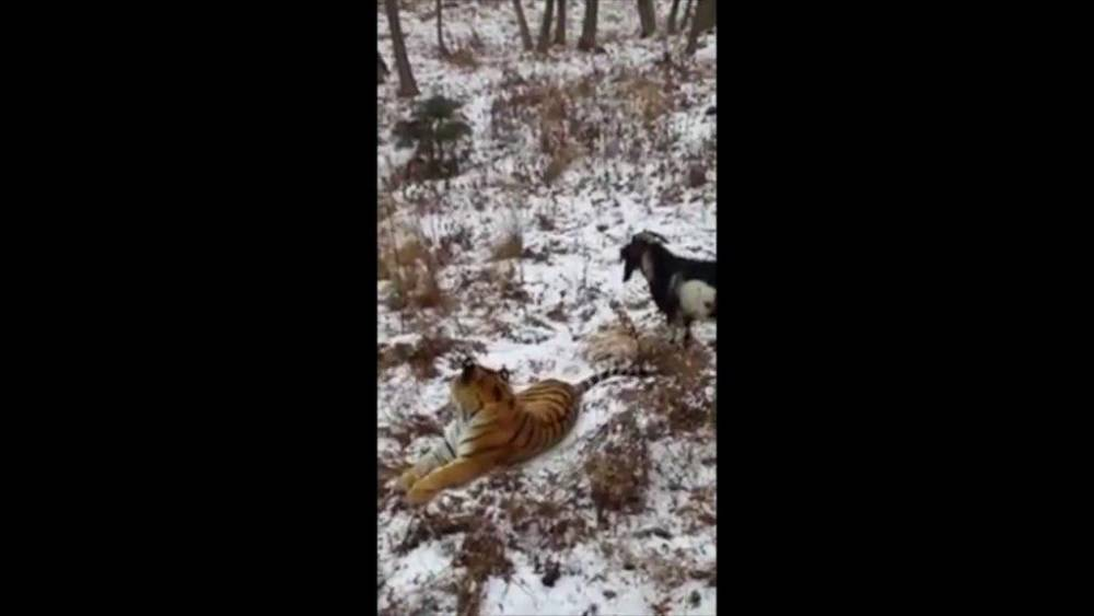 Goat chases a tiger Source: YouTube/Siberian Times