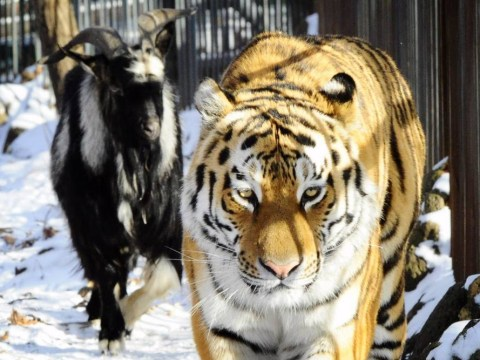 Zookeepers gave a tiger a live goat to eat… but they made friends instead