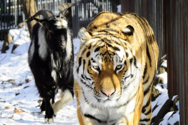 27 Nov 2015, Russia --- PRIMORYE TERRITORY, RUSSIA. NOVEMBER 27, 2015. Amur, a Siberian tiger, and Timur, a goat, in Safari Park in the village of Shkotovo. Tigers are fed with live animals twice a week. They use their instincts while hunting the prey. But instead of eating Timur, Amur befriends the goat. Yuri Smityuk/TASS --- Image by © Yuri Smityuk/ITAR-TASS Photo/Corbis