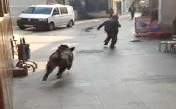 Large wild boar swims ashore into Instabul then chases residents (and a dog)