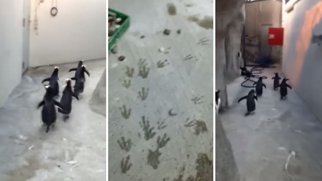Penguins break out of zoo enclosure…but their footprints give them away