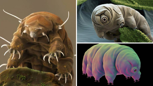 It turns out tardigrades, AKA 'water bears' are actually body snatchers