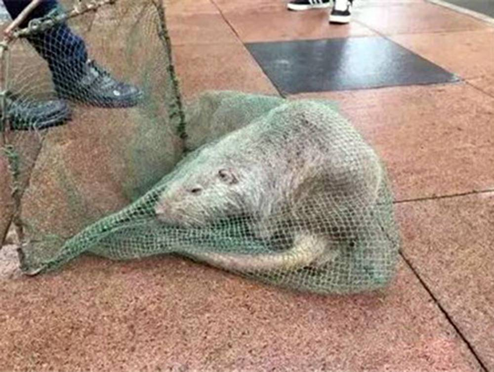 "Pic shows: the captured river rat. Chinese social media was abuzz with pictures of a ""giant rat"" this week after the scarily large rodent was spotted on the campus of a prestigious university. The coypu, otherwise known as a river rat or nutria, was spotted scurrying through corridors and rooftops at Wenzhou Medical University, with students believing speculation online that they had seen some genetically modified monster rat. Staff at the otherwise calm and rational medical institute (lat. Myocastor coypus) tracked it down in the open and threw several fishing nets over the animal, which was described by one professor as being ""a metre long with its tail"". The 10-kilogramme creature, a semiaquatic species of rodent, was later contained in a cardboard box and identified in the school lab as a river rat ñ largely considered an invasive pest, due to its thumb-sized front teeth and strong claws. Teachers at the university believe the animal may have been purchased online as a pet and accidentally set free on school grounds. Reports also said young, ""cute"" river rat babies sell for about 900 RMB (93 GBP) on Taobao, Chinaís largest online trading website operated by e-commerce giants Alibaba. However, claims that the unexpected rodent guest actually belongs to a student have yet to be confirmed. The river rat has since been sent to local wildlife experts for safeguarding, after which it is likely to be released somewhere remote. (ends)"