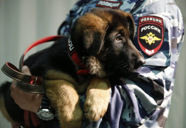 epa05058492 A Russian police officer holds a German shepherd puppy dog named Dobrynya during a presentation ceremony at the French embassy in Moscow, Russia, 07 December 2015. France accepted the offer of a puppy from Russia instead a police dog named Diesel which was killed during Police operation during terror attacks in Paris 13-14 November. EPA/SERGEI ILNITSKY