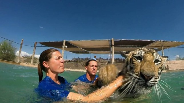 *** EXCLUSIVE - VIDEO AVAILABLE *** ARIZONA, USA - OCTOBER 2015: The wet predator reaches out to touch the camera on October, 2015 in Arizona, USA. A POWERFUL tiger launches itself at its keeper - before the pair make an almighty splash into a swimming pool. Staff at the Out Of Africa wildlife park in Arizona allow themselves to be ëhuntedí by the big cats as part of the ëTiger Splashí show, which sees the animals interact with their keepers as they would with their prey. The adult Bengal and Siberian tigers have all of their teeth and claws. But despite the danger the bond between the humans and animals stop the brave keepers from being mauled to death. The deadly predators grow to nearly 400kg and 11 foot in length and many of the staff are scarred from playful bites and scratches. The famous show is purely improvised and brings out the playful side of the magnificent beasts. PHOTOGRAPH BY Out of Africa / Barcroft Media UK Office, London. T +44 845 370 2233 W www.barcroftmedia.com USA Office, New York City. T +1 212 796 2458 W www.barcroftusa.com Indian Office, Delhi. T +91 11 4053 2429 W www.barcroftindia.com