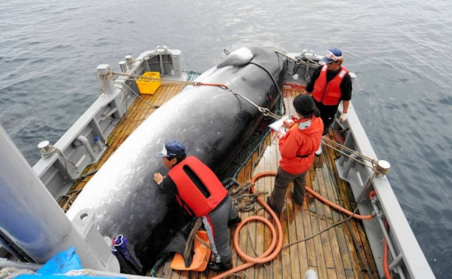 AT SEA - SEPTEMBER 13: (CHINA OUT, SOUTH KOREA OUT) Researchers load a mink whale on the deck during a research whaling off Kushiro on September 13, 2013 at sea. The International Court of Justice ruled on March 31, 2014 the Japan's whaling program in Antarctic Ocean 'not scientific purpose' and orders to halt it temporarily. Japan is the only country in the world conducting scientific whaling, which it launched in the Antarctic in 1987 and the northwest Pacific in 1994. It is also being done in Japanese coastal waters. (Photo by The Asahi Shimbun via Getty Images)
