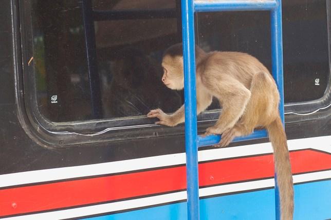 Monkey bus