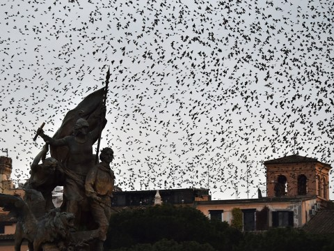 Rome is beset by a plague of starlings