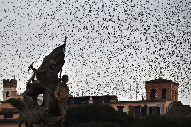 Starlings migrating from northern Europe fly in the sky above Rome on December 4, 2015. About one-million starlings migrate in Rome during autumn and winter time and draw beautiful patterns in the sky before spending the nights in the trees by the Tiber river, creating chaos in the neighborhood with their droppings. / AFP / GABRIEL BOUYS (Photo credit should read GABRIEL BOUYS/AFP/Getty Images)