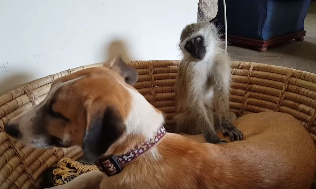 monkey struggles to keep eyes open while sharing basket with a sleeping dog