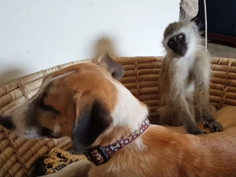 Watch this very sleepy monkey struggle to stay upright