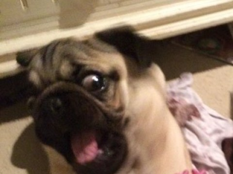 Forget cats and cucumbers, it turns out pugs are terrified of giraffes