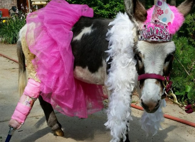 Miniature donkey Bella Burro gets prosthetic leg from