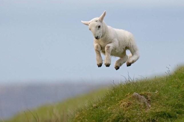 AW480K Spring Lamb. Image shot 2007. Exact date unknown.