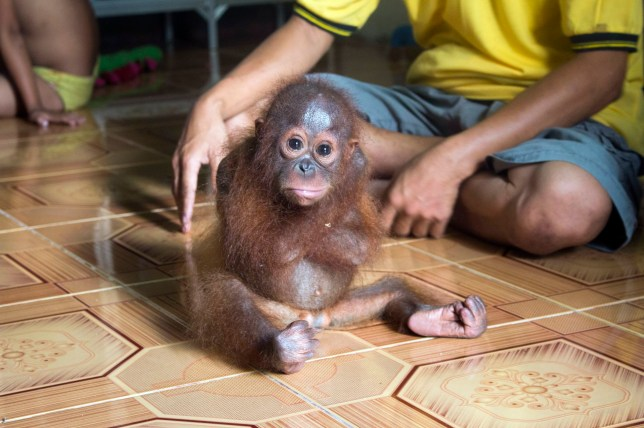 Undated handout photo issued by International Animal Rescue of baby orang-utan Joss who constantly wrapped her arms around her body because she missed her mother but has been rescued by a British animal charity in Borneo. PRESS ASSOCIATION Photo. Issue date: Wednesday January 20, 2016. The ape also threw herself onto the floor repeatedly and banged her head against a wall in further signs of her psychological trauma. See PA story ANIMALS Orangutan. Photo credit should read: International Animal Rescue/PA Wire NOTE TO EDITORS: This handout photo may only be used in for editorial reporting purposes for the contemporaneous illustration of events, things or the people in the image or facts mentioned in the caption. Reuse of the picture may require further permission from the copyright holder.