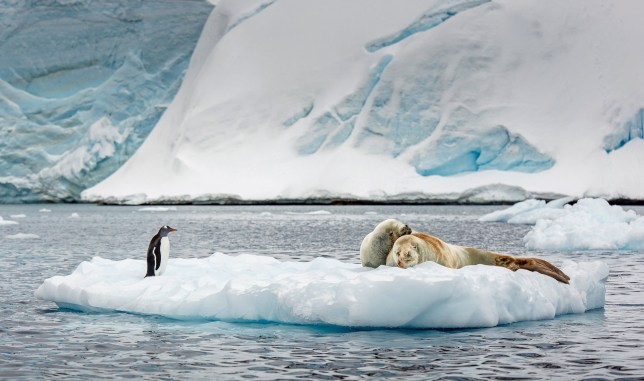 PIC BY DAVID MERRON / CATERS NEWS - (Pictured: A penguin intrudes on a pair of cuddling seals) This pair of canoodling seals received an unwelcome surprise, when their petting time was interrupted by an inquisitive PENGUIN. The unwanted intruder stood just a few feet away from the loved-up mammals, who just a few moments earlier had the small slab of ice all to themselves. Not wanting to miss out on the action, the gentoo penguin hopped onto the ice, watching the seals in the act. The hilarious moment - which took place in Paradise Harbour, Antarctica - was captured by wildlife photographer David Merron, who was shocked to see the penguin get so close to the crabeater seals. - SEE CATERS COPY