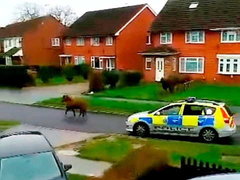 Shetland pony escapes again and is now on the run from the law
