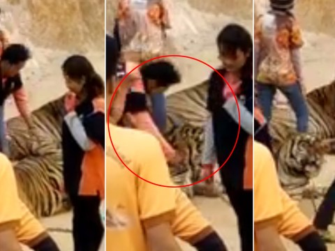 Video shows man punch tiger in face at tourist centre in Thailand