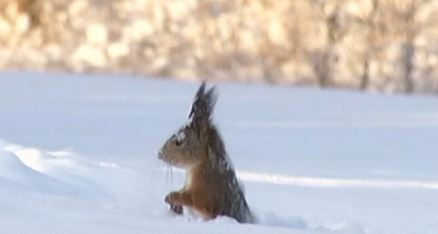 Squirrel face-diving into snow will make you fall in love with the animal kingdom again