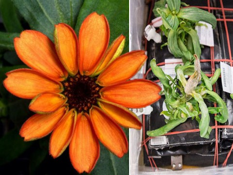 First flower to ever bloom in space takes us one step closer to colonising Mars