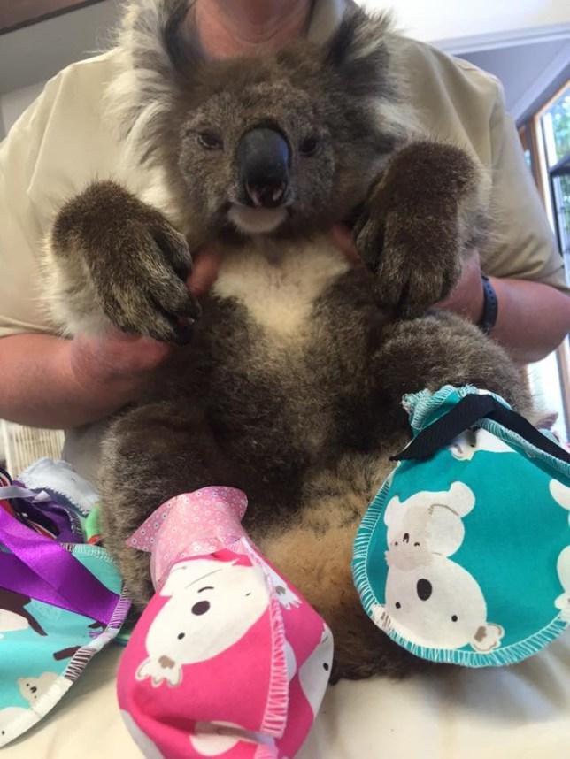 Koala's weres mitten to protect their burned paws/Jirrahlinga Koala and Wildlife Sanctuary FACEBOOK
