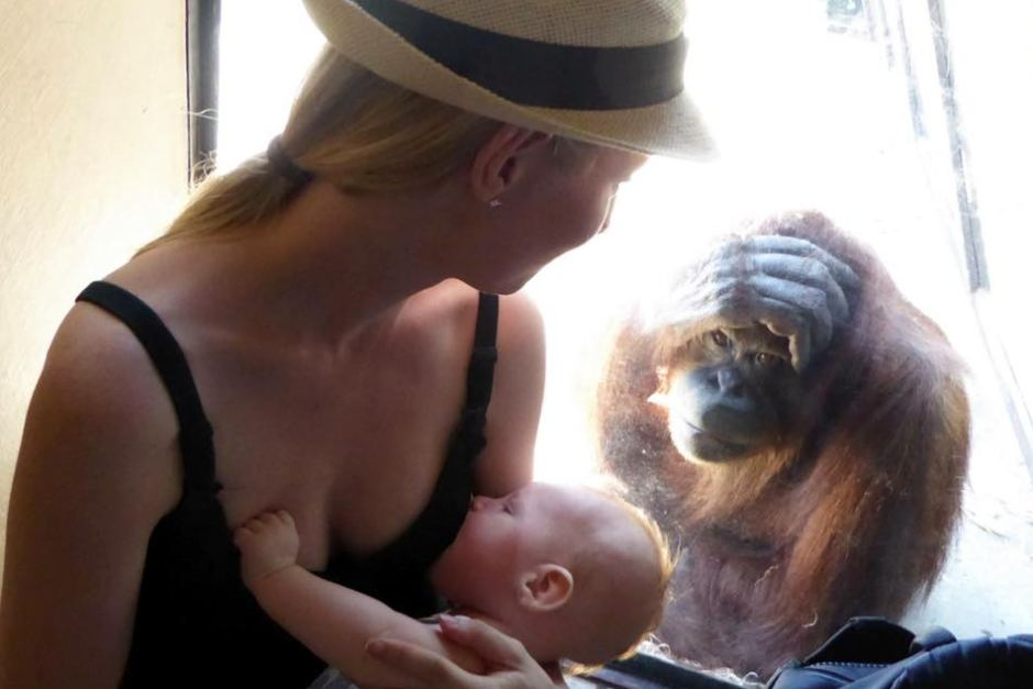 Breastfeeding mother's emotional connection with orangutan during zoo visit Picture: ABCMelbourne