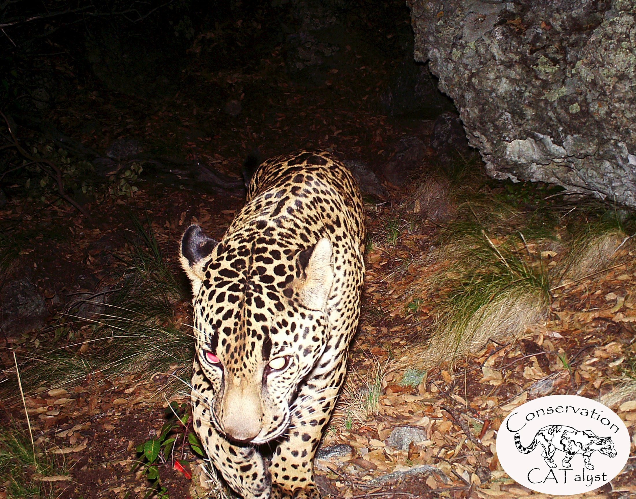 The only known wild jaguar currently in the United States is seen in an undated still image captured on a remote sensor camera in the Santa Rita Mountains near Tucson, Arizona, released by Conservation CATalyst and The Center for Biological Diversity. El Jefe, as the jaguar has come to be known in Tucson, has been photographed repeatedly by remote sensor cameras in the Santa Ritas over the past few years, according to a Center for Biological Diversity news release. REUTERS/Conservation CATalyst and Center for Biological Diversity/Handout via ReutersATTENTION EDITORS - THIS PICTURE WAS PROVIDED BY A THIRD PARTY. REUTERS IS UNABLE TO INDEPENDENTLY VERIFY THE AUTHENTICITY, CONTENT, LOCATION OR DATE OF THIS IMAGE. THIS PICTURE IS DISTRIBUTED EXACTLY AS RECEIVED BY REUTERS, AS A SERVICE TO CLIENTS. FOR EDITORIAL USE ONLY. NOT FOR SALE FOR MARKETING OR ADVERTISING CAMPAIGNS. FOR EDITORIAL USE ONLY. NO RESALES. NO ARCHIVE.