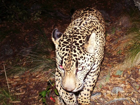 There's only one wild jaguar left in the whole United States. Here he is…