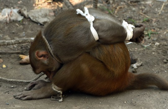 Pictures show monkey tied up like a prisoner in Mumbai