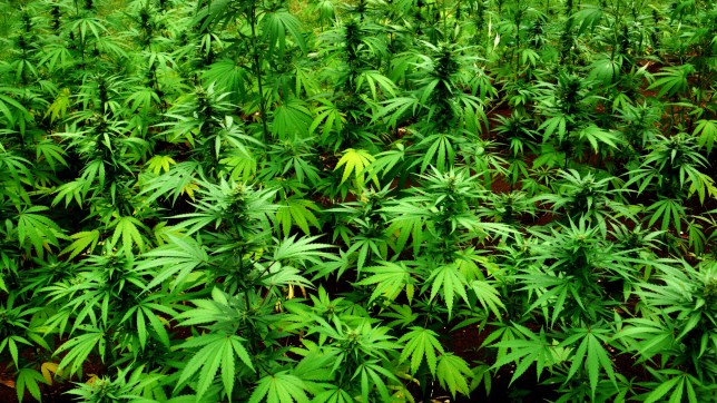 Marijuana plants at the mausoleum for reggae musician Peter Tosh (1944 - 1987) in the grounds of his former house in Belmont, Jamaica, 3rd June 2011. (Photo by Kevin Cummins/Getty Images)