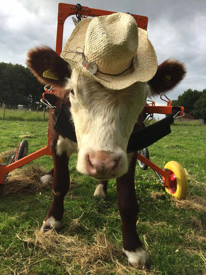 Duke the bullock (Picture: CALF)