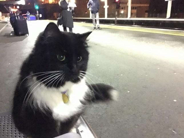 Train station cat gets a promotion, hi-viz jacket and name badge Credit: Felix the Huddersfield Station Cat/ Facebook