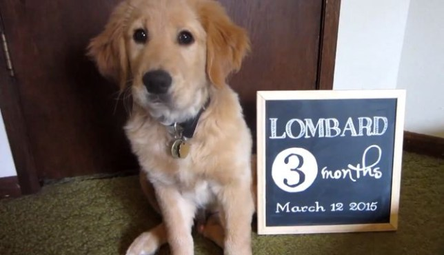 lombard the guide dog