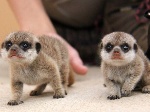 These baby meerkats exploring the world for the first time will soothe your weary soul