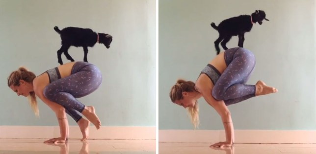 yoga woman does yoga with a baby goat