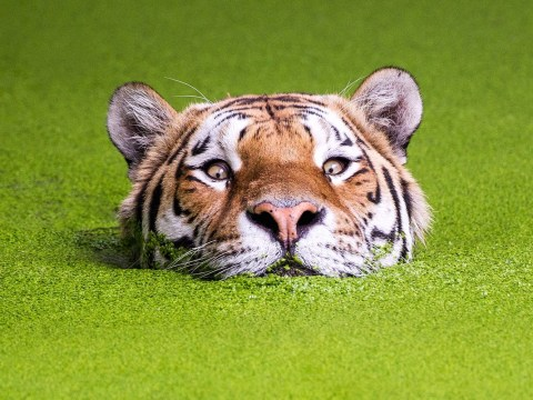 Peeping tiger gets the ultimate photoshop treatment