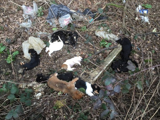 Puppy farm' dogs dumped in St Albans ditch to die and found