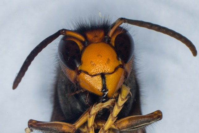 TO GO WITH AFP STORY BY CHRISTIAN PANVERT A photo shows the head of a Asian Hornet (Vespa Velutina) on September 30, 2014 at the Research Institute of Biology of the Insect (IRBI) in Tours, central France. The Asian Hornet, an invasive non-native species from Asia, is a highly effective predator of insects, including honey bees. French researchers at IRBI have been conducting research into whether native parasitic species, small flies known as Conops vesicularis, could have an impact on the health of Asian Hornet colonies, possibly leading to their decline in Europe. AFP PHOTO / GUILLAUME SOUVANT (Photo credit should read GUILLAUME SOUVANT/AFP/Getty Images)