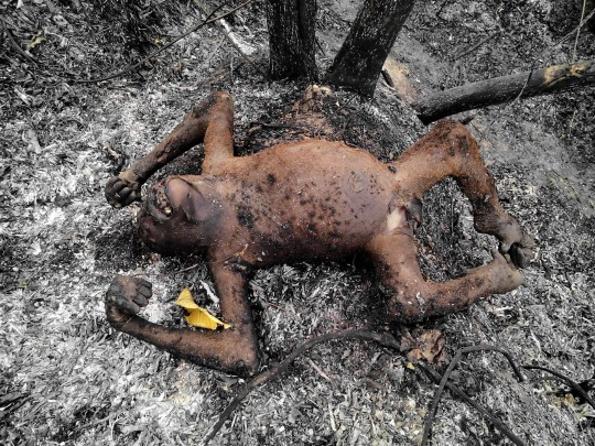 "In this undated picture taken late on February 2016 and released by Center of Orangutan Protection on March 3, 2016, shows the body of an orangutan after a forest fire at Kutai National Park in Bontang, East Kalimantan province. Three female orangutans, including a baby, were burnt to death in central Indonesia after being caught in a fire believed to have been illegally started to clear land for farming, an official and protection group said. AFP PHOTO / CENTER OF ORANGUTAN PROTECTION --- RESTRICTED TO EDITORIAL USE - MANDATORY CREDIT ""AFP PHOTO / CENTER OF ORANGUTAN PROTECTION"" - NO MARKETING NO ADVERTISING CAMPAIGNS - DISTRIBUTED AS A SERVICE TO CLIENTS NO ARCHIVESCENTER OF ORANGUTAN PROTECTION/AFP/Getty Images"