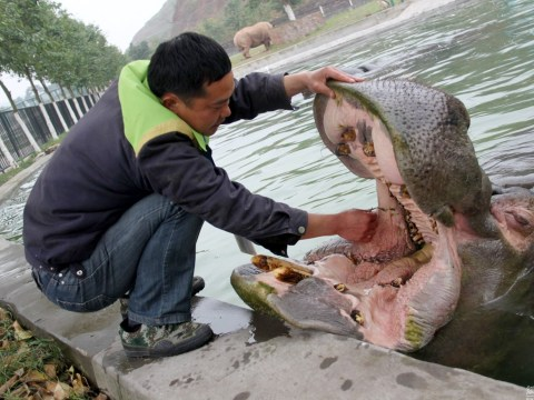 Zookeeper risks his hand to give hippo a dental check-up