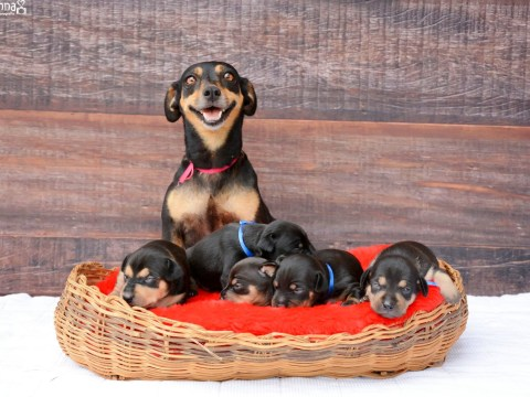 Maternity dog model just gave birth to five ridiculously adorable puppies