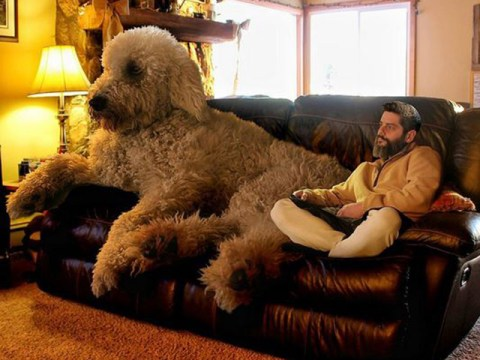 One man and his Goldendoodle go on a giant adventure together