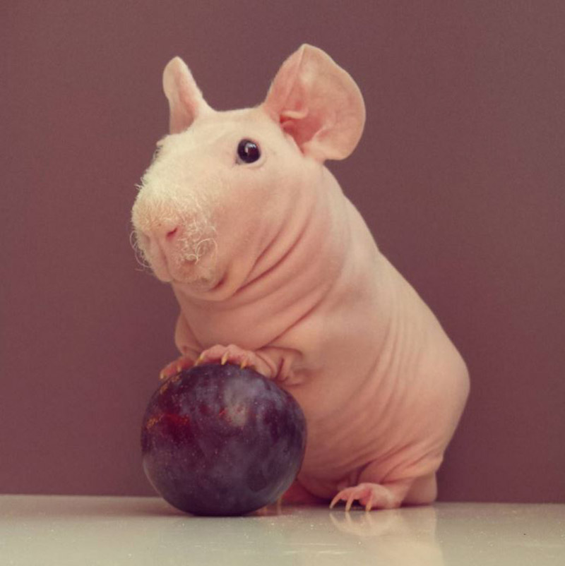 This naked guinea pig is a full-time food model and it's awesome
